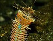 Image of Bobbit Worm