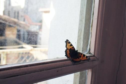 Lundi 15 juillet : Un papillon coincé derrière une vieille fenêtre