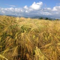 Les champs de blé sont magnifiques