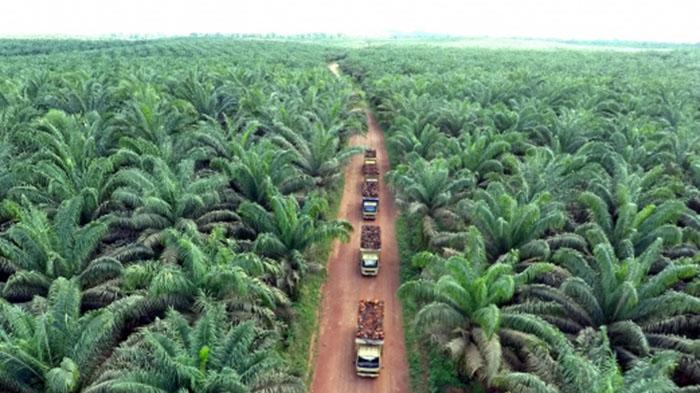 Luas Kebun Sawit di Riau Menurut Data Tahun 2020