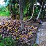 Inhil Dapat Jatah Peremajaan Kebun Kelapa 200 Hektare Tahun 2021