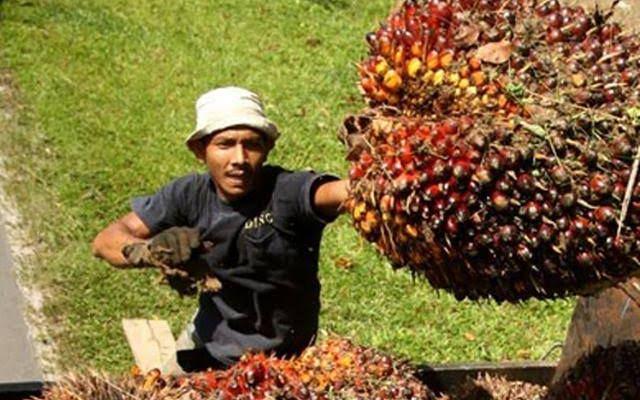 Pemprov Riau Jamin dengan Pergub Sawit Tak Lagi Ada Petani Ngeluh Harga Berbeda