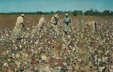 altes Foto: Baumwollernte auf Martinique