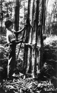 sw-Foto: Waldarbeiter bei der Harzernte