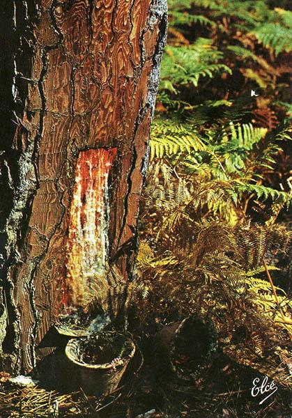 farbiges Foto: Baumharz läuft ein Töpfchen