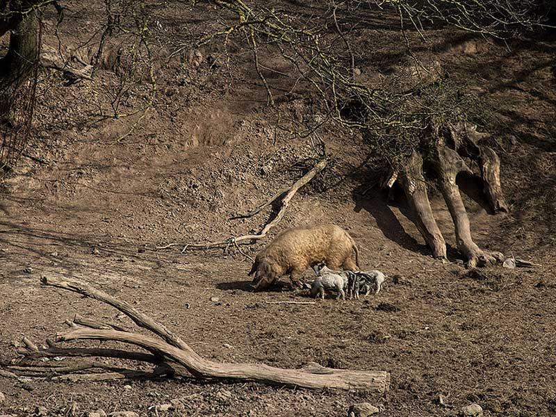Foto: eine Wollsau mit ihren Ferkeln