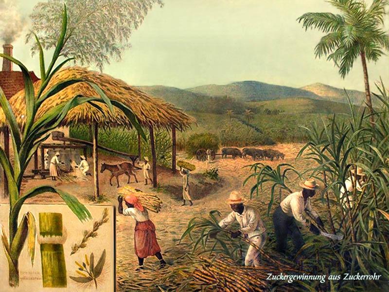 farbige Lehrtafel: rechts dunkelhäutige Männer bei der Zuckerrohrernte, links im Hintergrund die Weiterverarbeitung