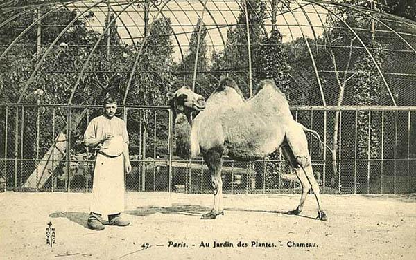 altes Foto: Tierpfleger mit Kamel
