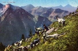 Ziegenhirte auf der Alp von Ziegen umringt