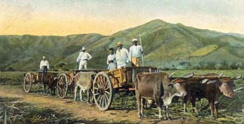 Farbfoto: drei Ochsenkarrenstehen zum Beladen mit Zuckerrohr bereit, Auf den Wagen stehende Aufseher