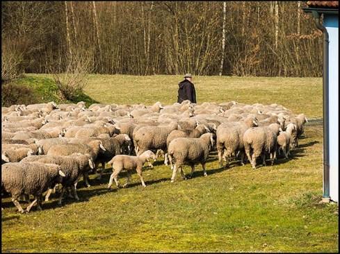 Foto: Schäfer mit Schafsherde