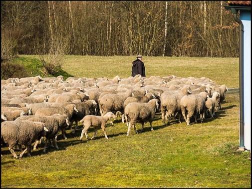Bayern, Schafsherde, Schafe, Schäfer