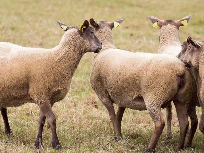 Schafe, Schafsherde, Normandie
