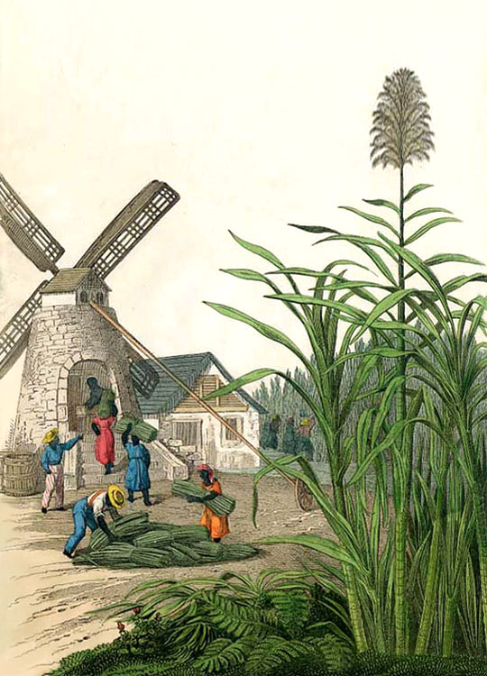 Farblitho: schwarze Sklaven tragen Zuckerrohrbündel in eine Windmühle