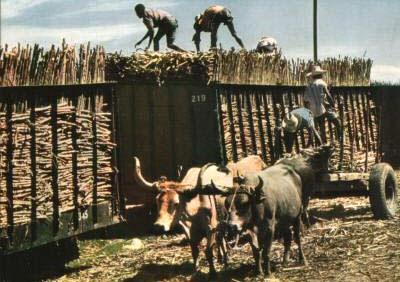 Farbfoto: Zuckerrohr wird auf große Anhänger verladen, davor steht ein Ochsenkarren