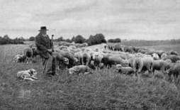 Schäfer, Schafsherde, Schafe