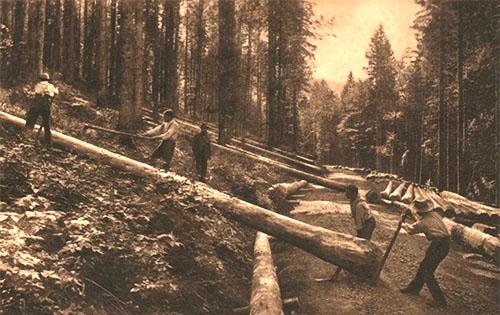 s/w Foto: mehrere Holzfäller entfernen gemeinsam Geäst von gefällten Bäumen