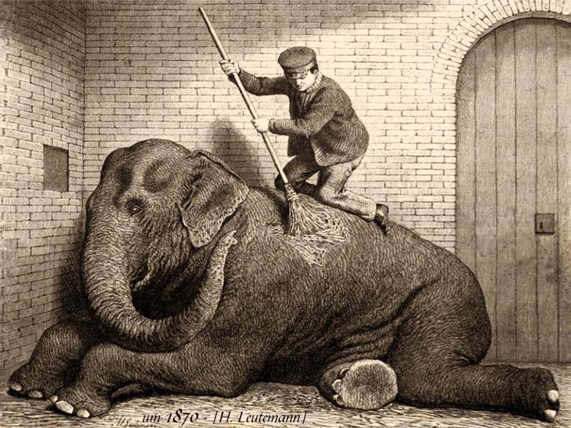 s/w Zeichnung: Elefantenwärter kniet auf liegendem Elefanten und kehrt diesen ab