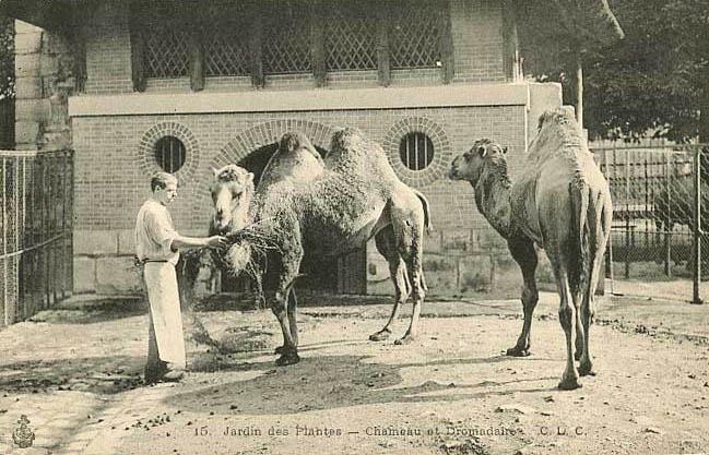Tierpfleger mit Kamele und Dromedar