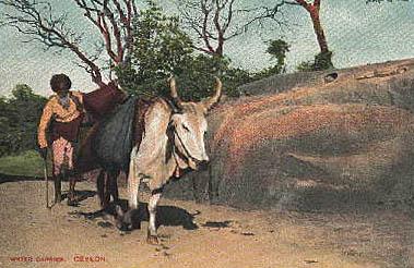 kolorierte Postkarte: ceylonesischer Wasserträger mit Nutztier
