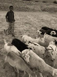 sw Foto: jemenitischer Junge unterwegs mit Ziegen