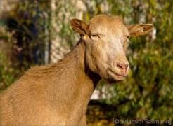 Farbfoto: Ziege schaut verschmitzt