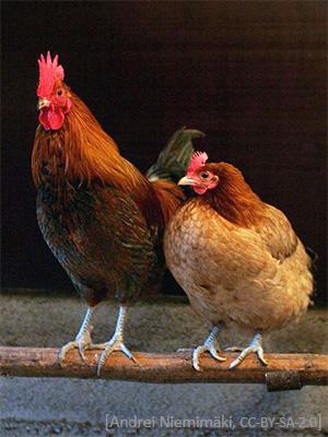 Farbfoto: Hahn und Henne auf einer Stange - 2007