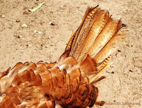 Farbfoto: Nahaufnahme von Gefieder und Schwanzfedern eines Truthahns - 2009