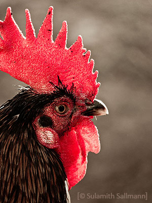 Farbfoto: Nahaufnahme vom Kopf eines Hahns - 2015