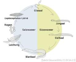 schematische Darstellung: Lebenszyklus des Aals - 2006, Island