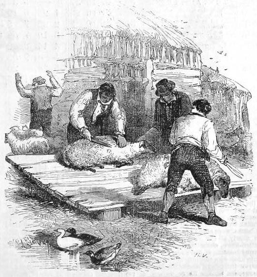 Männer scheren Schafe auf einem Holzpodest
