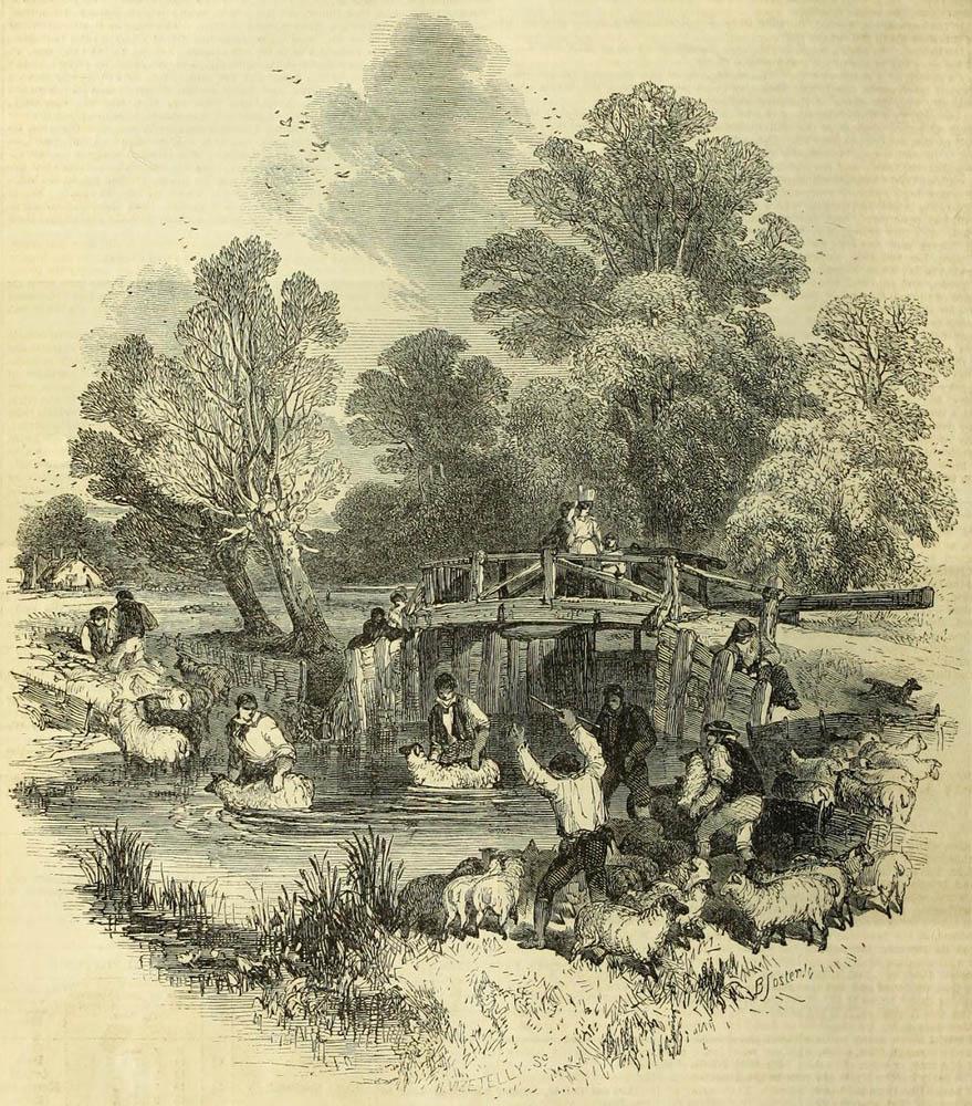 Schafe waschen Schäfer im Fluss