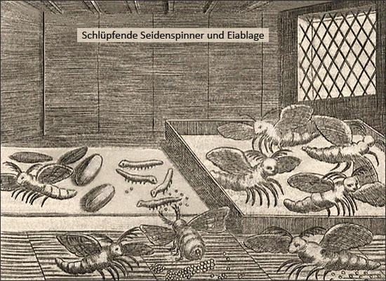 Kupferstich: Schlüpfende Seidenspinner und Eiablage - 1695