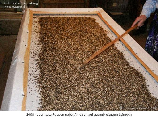 Farbfoto: geerntete Puppen nebst Ameisen auf ausgebreitetem Leintuch - 2008, AT