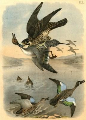 Falke jagt Enten