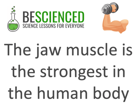 strongest muscle in the body