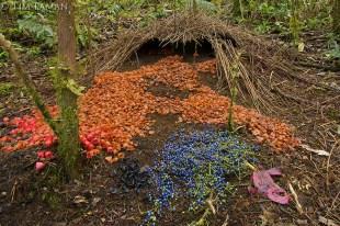 A Bowerbird nest (Source: http://cdn.c.photoshelter.com/img-get/I0000eUMkzTSpZ5k/s/900/MM7163-041130-03257.jpg)