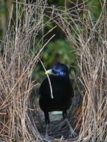 Male Satin Bowerbird (Source: https://s-media-cache-ak0.pinimg.com/236x/55/8d/87/558d87c45fd4ecfc30d84cfd1798be2d.jpg)