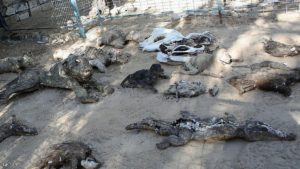 The bodies of dead and mummified animals are seen at a zoo in Khan Yunis, in the southern Gaza Strip on March 5, 2016. / AFP / SAID KHATIB        (Photo credit should read SAID KHATIB/AFP/Getty Images)