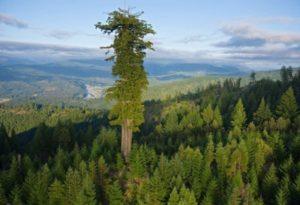 tallest-tree-600x450