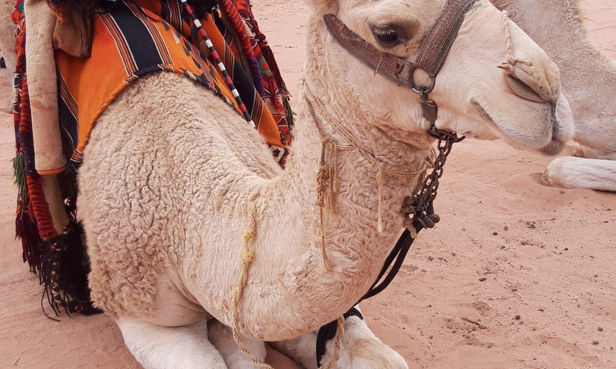 Camel in the middle of the desert in Wadi rum, Jordan