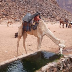 Camel drinking in the middle of Wadi rum, in Jordan