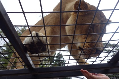 New Zealand: Feeding the Lions