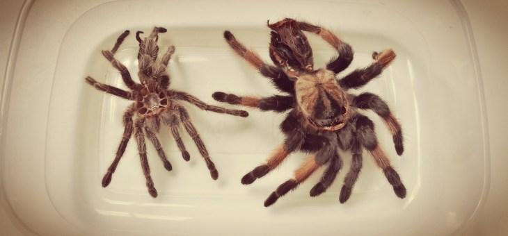 Pavouk II.