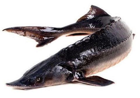 Фото Рыба Севрюга
