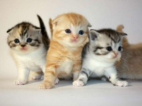 Архив Питомник предлагает шотландских котят.: 2 900 грн ...