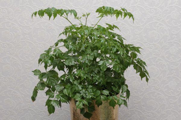 Архив Комнатные цветы: 70 грн. - Комнатные растения ...