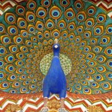 Jaipur Peacock