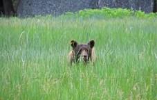 Yosemite Brown Bear