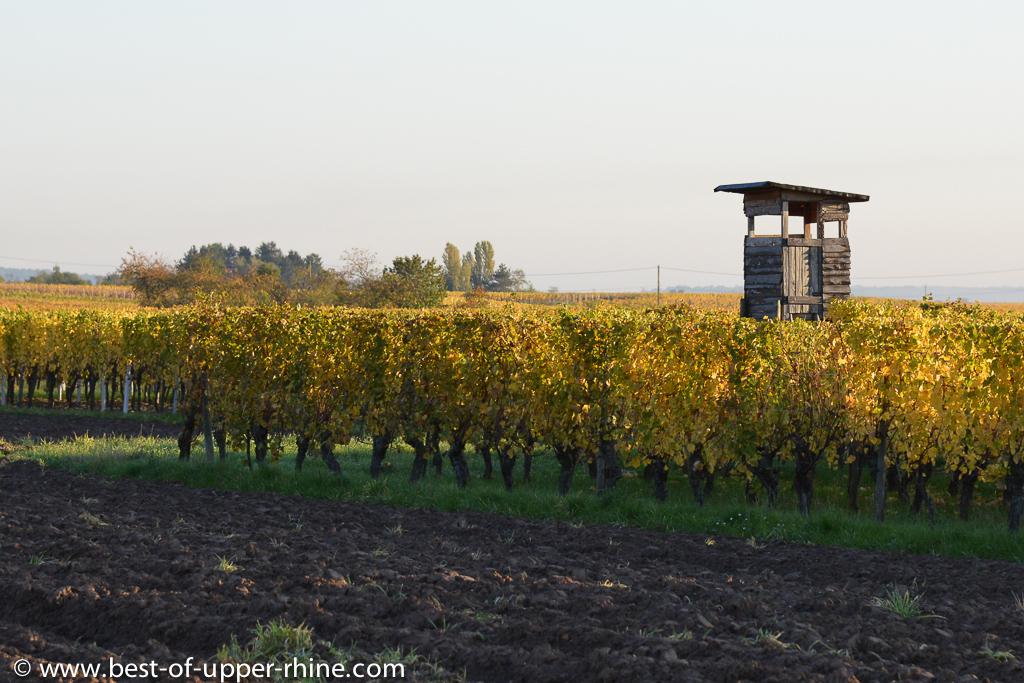Scherwiller vineyards